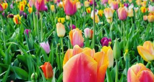 Beautiful tulips in I just wanted to bring them all home