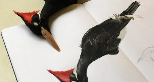 Some progress on this ivory-billed woodpecker spread. I will not be able to